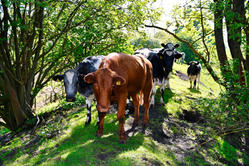 The inquisitive cows