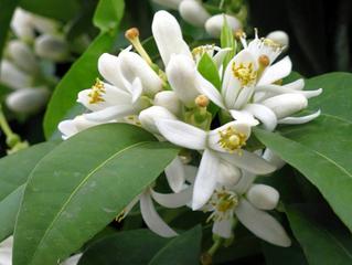Flor de laranjeira: conheça suas propriedades e benefícios