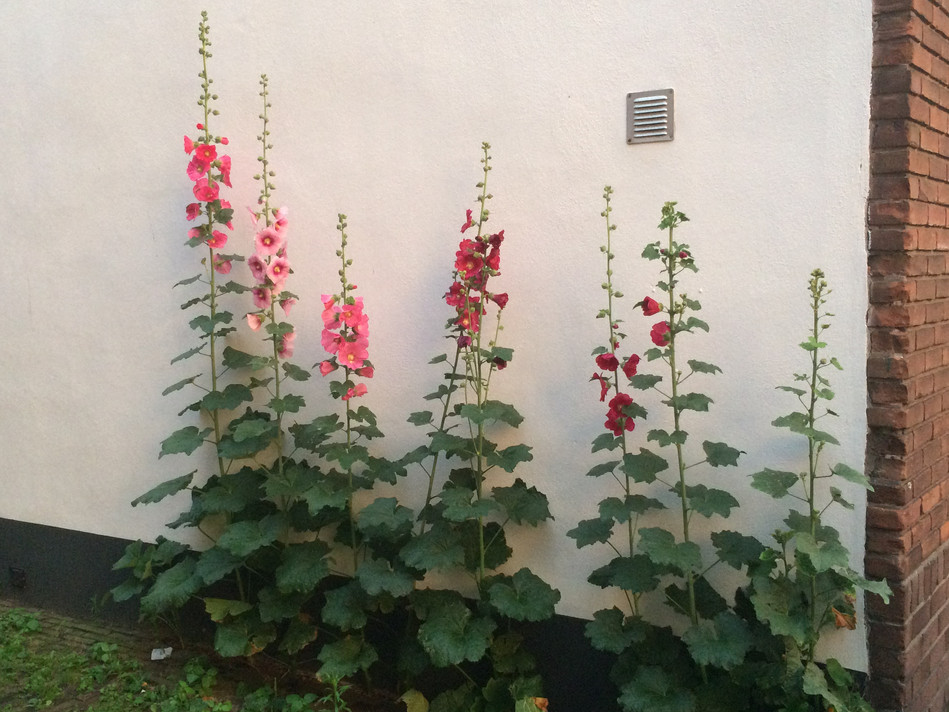 """""""hollyhocks"""" project prijssestraat in collaboration with township culemborg"""