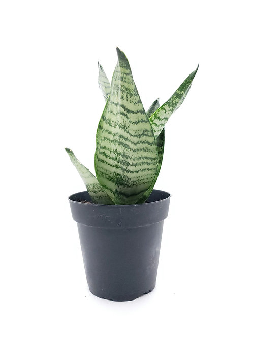 Air Purifying: 4in Sansevieria