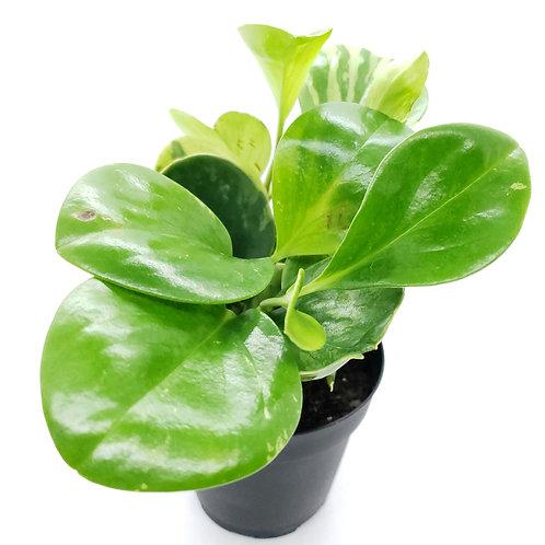 Peperomia 4in Houseplant