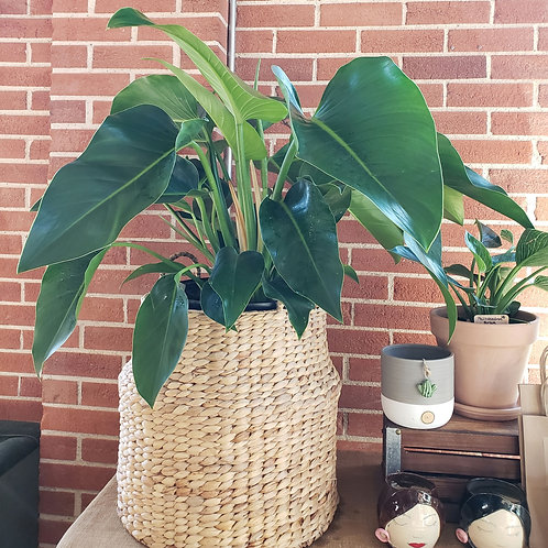 BRASS TACKS: PHILODENDRON