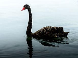 black swan in fog.jpg