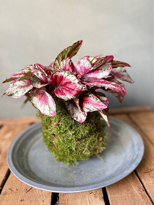 Kokedama Begonia red
