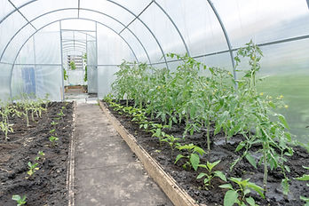 young tomato seedlings in a greenhouse o