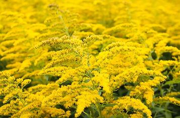 Solidago gigantea or Goldenrod flowering plant..jpg