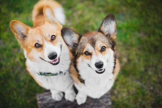 Two welsh corgi pembroke dogs standing o