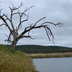 Tree in Slender Knotweed at Anglers Reac