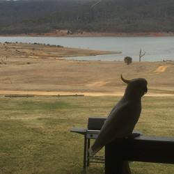 Cockatoo at Anglers Reach - Lake Eucumbe