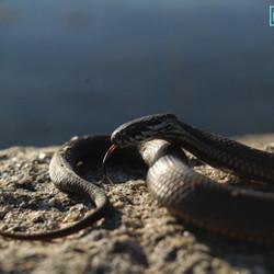 Eucumbene snake L Cooper.JPG