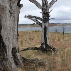 Lake Eucumbene Trees - 50% trees.JPG