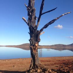 Old Adaminaby - 50% tree - July 2013.JPG