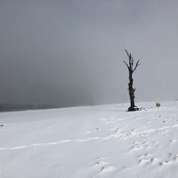 50% tree in snow -Old Adaminaby.JPG