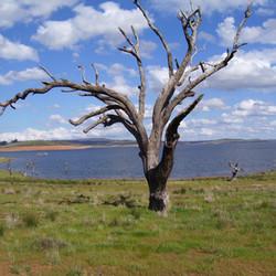 Lake Eucumbene Trees - Homeleigh Bay.JPG