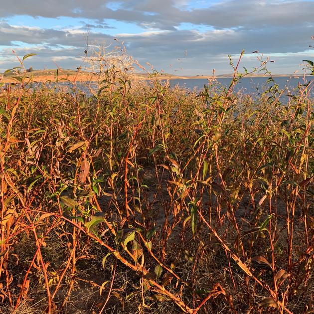 Slender Knotweed plague - Lake Eucumbene
