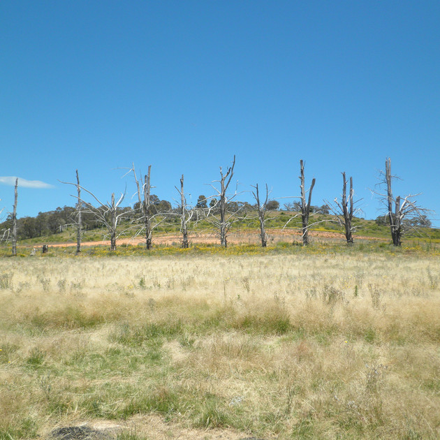 Eucumbene Trees out of water .JPG