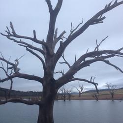 Anglers Reach - Lake Eucumbene - Tree.JP