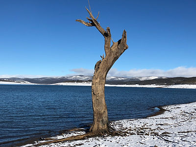 The tree at Trout Island - Lake Eucumben