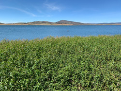 Pesky Knotweed - Lake Eucumbene