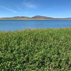 Pesky Knotweed - Lake Eucumbene.JPG