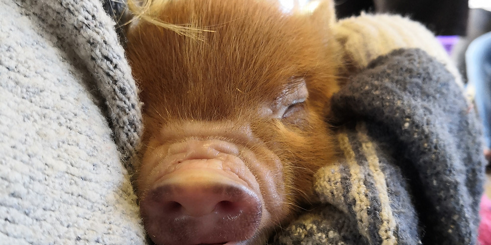 Pennywell Farm Trip - Pig Racing, Petting Zoo and More!