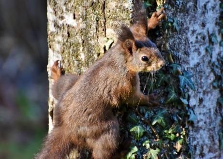 01-Eichhörnchen-px