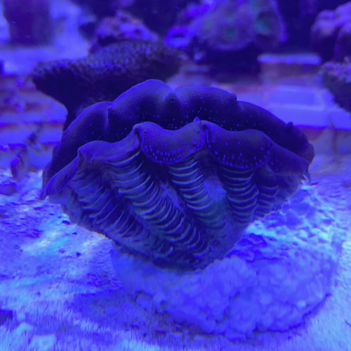 cultured Crocea clam