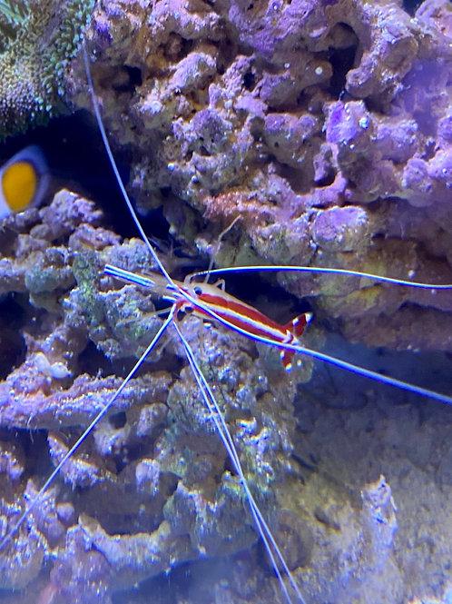 Cleaner shrimp (small)