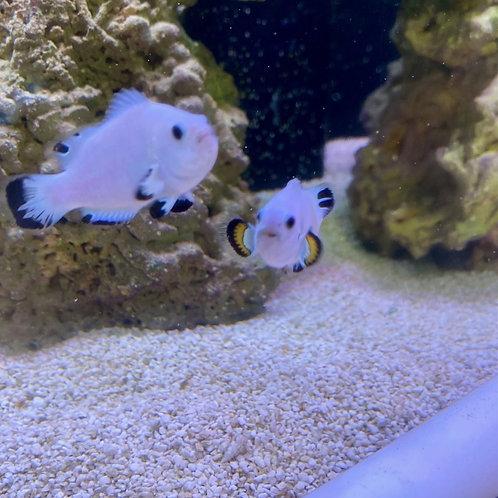 Platinum clown fish