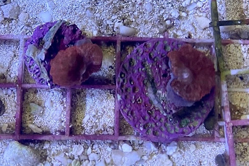 red mushroom frags xs