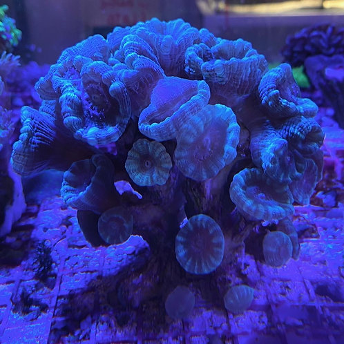 large trumpet coral colony