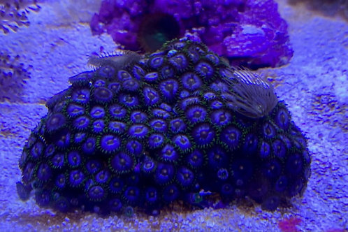 mixed zoa and polyp rock small