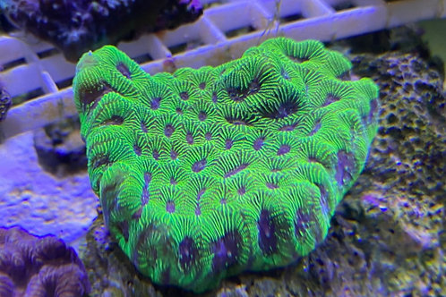 Pineapple coral fluorescent green