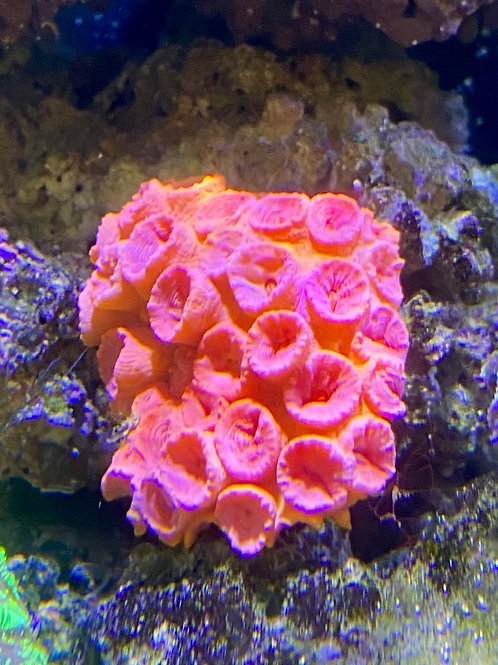 Sun coral (medium)