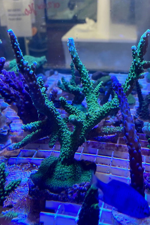 Golden stag acropora large colony
