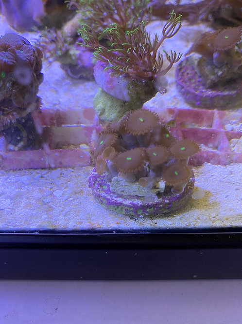 mixed Zoa frags super colure (small)