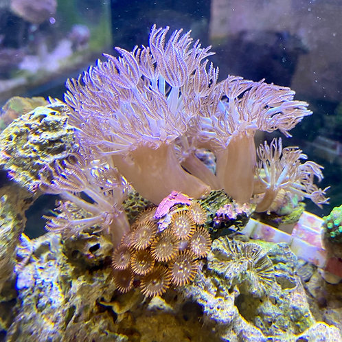 pulse coral and zoa rock small