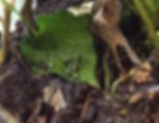 three striped dart frog.jpg