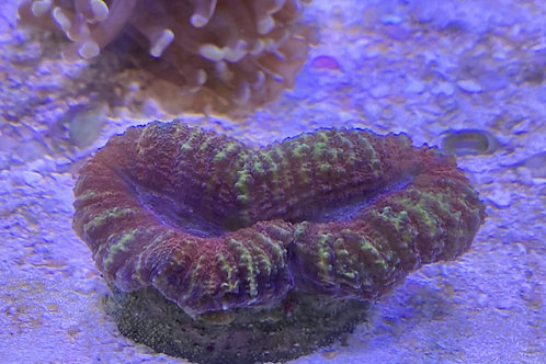 Spiny brain coral