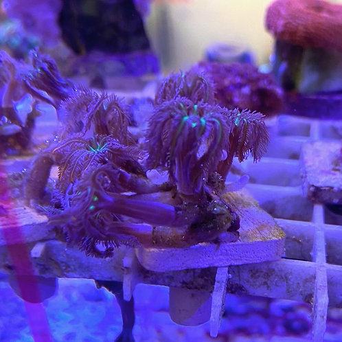 clove coral 'fire work' frag 4-5 heads per frag.