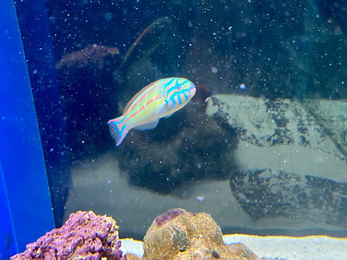 Queen wrasse large