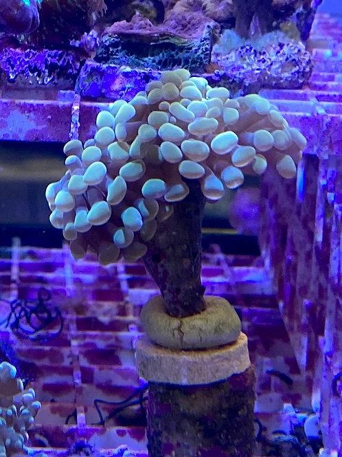 golden hammer coral frag double head