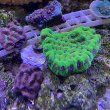 LPS coral