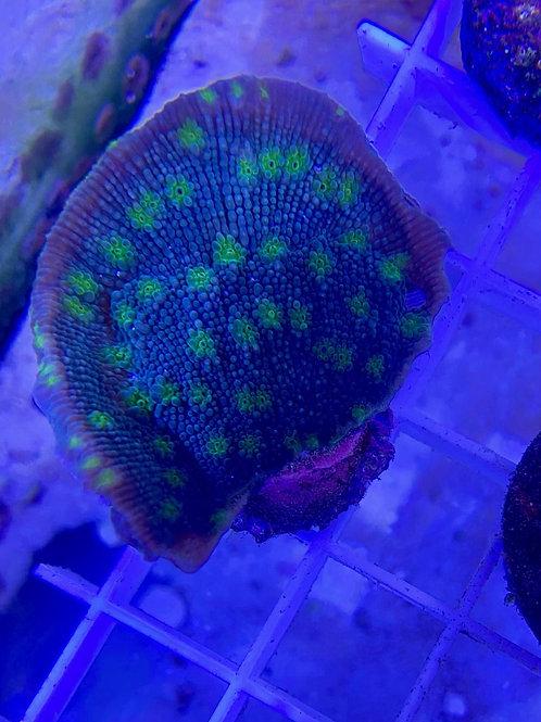 Hollywood stunner chalice coral frag