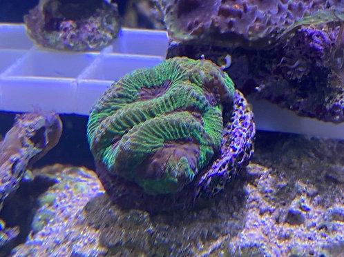 Maze coral frag