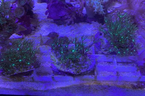 Green star polyp frag mini