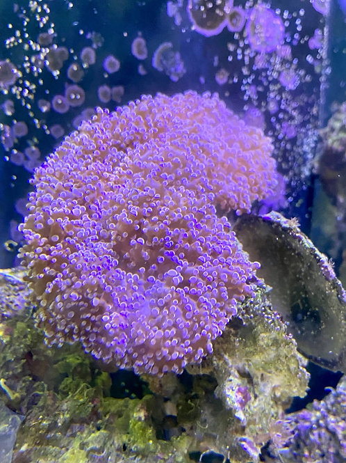 Frogs spawn coral (small)