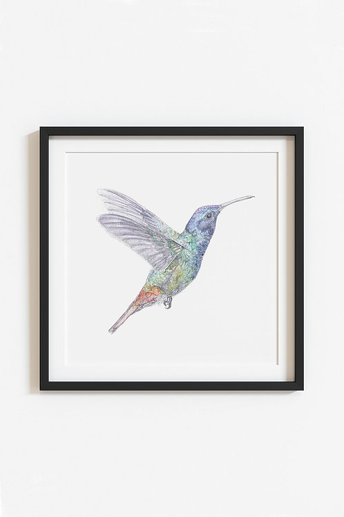 hummingbird giclee print