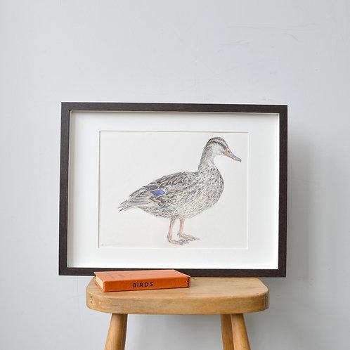 framed mallard duck drawing