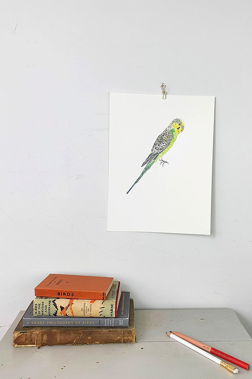 budgie pencil drawing